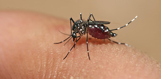 157137_aedes-1024x683